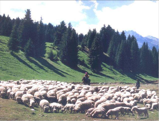 澳洲美利奴綿羊的來源于發展1