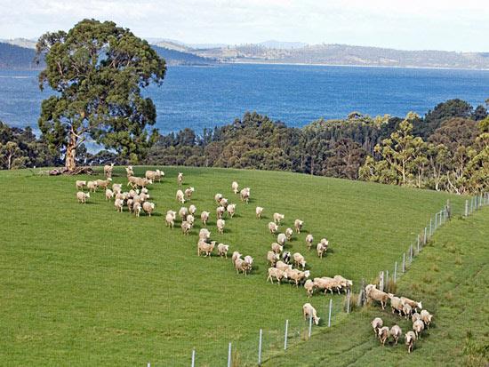 澳洲美利奴綿羊的來源于發展2