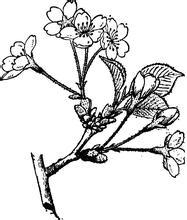 樱花简笔图