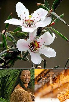 国家级蜜种.麦卢卡_麦卢卡花