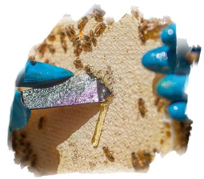 麦利卡蜂蜜——在割蜜