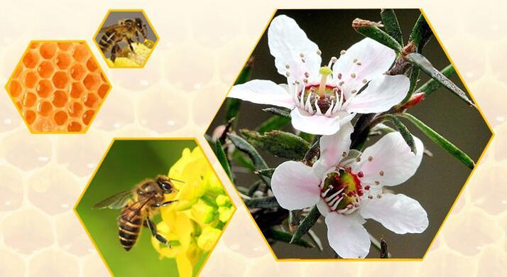 蜜蜂蛰了怎么消肿止痛?新西兰麦卢卡花上蜜蜂在采蜂蜜